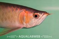 Asian arowana (Scleropages formosus)