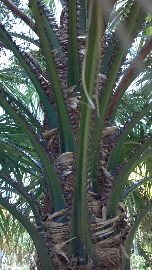 Aqualityplant Wholesale Palm Trees Florida Palm Nursery