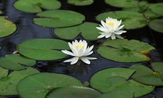 lotus in water plant diagram bathroom extractor fan wiring uk identification aquaplant emergent plants