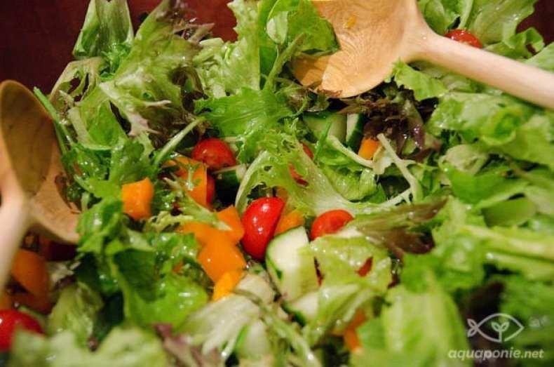 salade de légumes frais issus de l'aquaponie