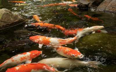 3 étapes pour convertir un bassin en aquaponie