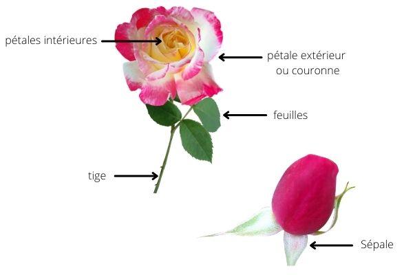 Structure d'une tige de rosier