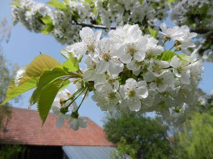 blüten, blossum, kirsche, cherry, apfel, apple