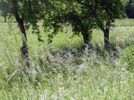 sommer, summer, été, estate, verano, estío, wiese, meadow, lawn, grassland, prairie, prato, pradera, apfelbaum, apple tree, pommier, melo, manzano, apfelbäume, apple trees, pommiers,