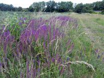 wiese, meadow, lawn, grassland, prairie, prato, pradera, gras, grass, herbe, erba, hierba, blumen, flowers, fleurs, Biotop, Guntersdorf, Grund, Weinviertel