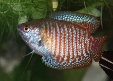 Dwerggoerami's zijn eigenlijk heel sterke vissen, maar door onverantwoorde kweek zijn ze nu erg vatbaar voor ziekten.