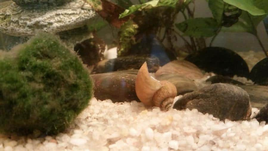 How to Tell If Your Aquarium Snail is Dead