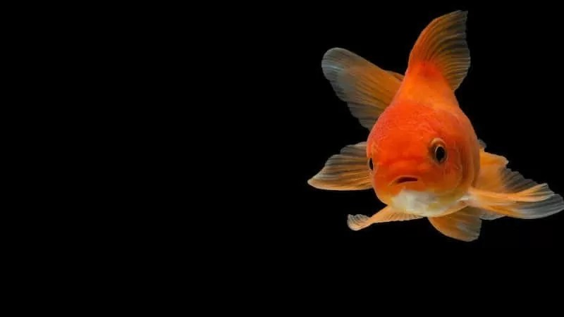 Can Goldfish See In The Dark