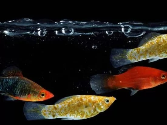 Different Types of Molly fish Can They Mate, Live Together
