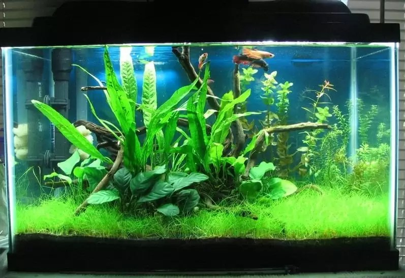 Freshwater Fish for 10-Gallon Tank