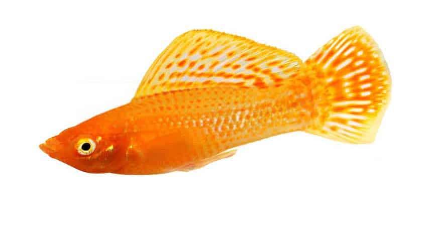 Golden Sailfin Molly