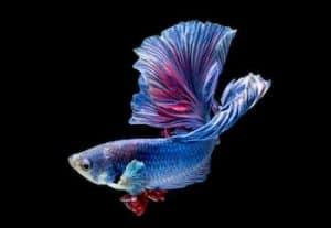 How do Betta Fish Eyes work