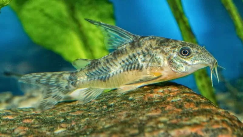 What Is The Best Food for Cory Catfish