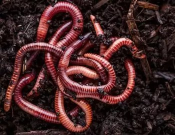 Worms (frozen or alive)
