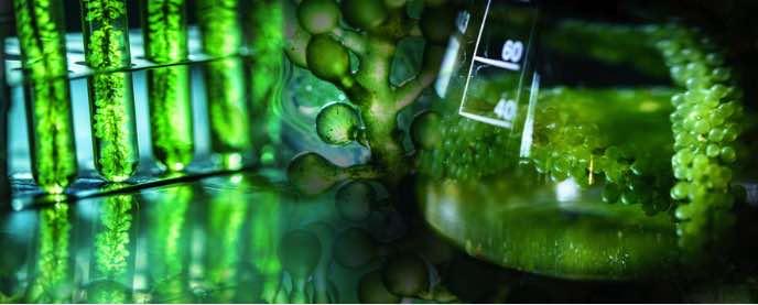 Algaes as Catfish Food