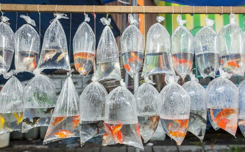 Aquarium Fish Staying in a Bag