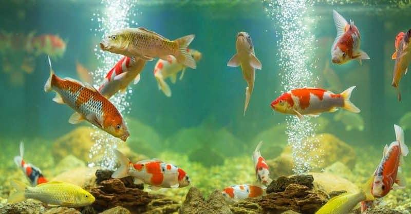 Can Koi Fish Be Kept in an Aquarium
