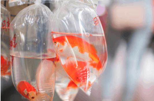 Fish in a Ziplock Bag