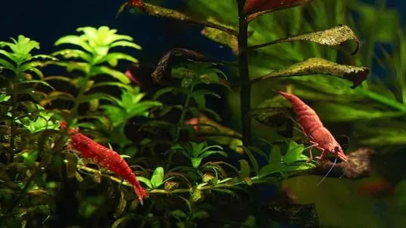 Best, Peaceful Fish to Keep With Shrimp in a Freshwater Tank