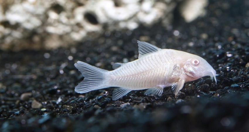 Albino Corydoras (Mixed Corydoras)