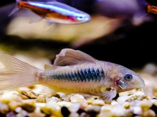 Awesome Cory Catfish Types for Your Fish Tank