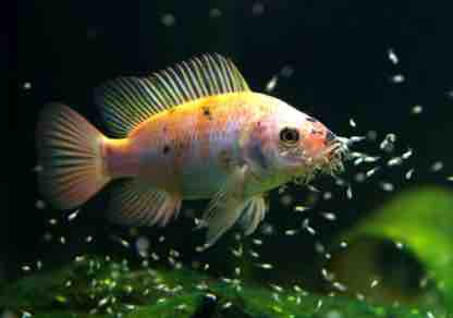 Best Time for Breeding Your Fish