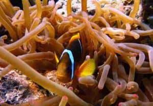 Vegetables as Clownfish Food