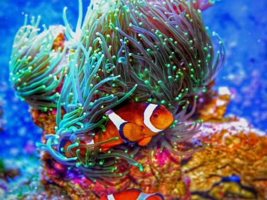 What Do Clownfish Eat in an Aquarium