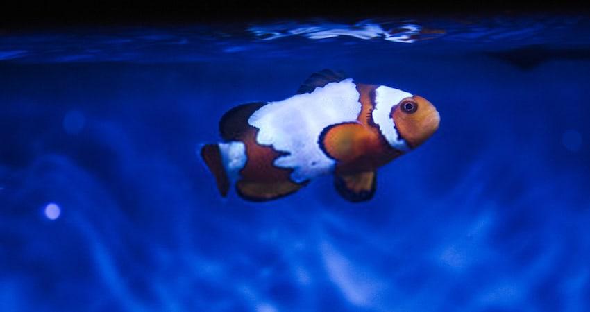 Clownfish Breeding in Fish Tank