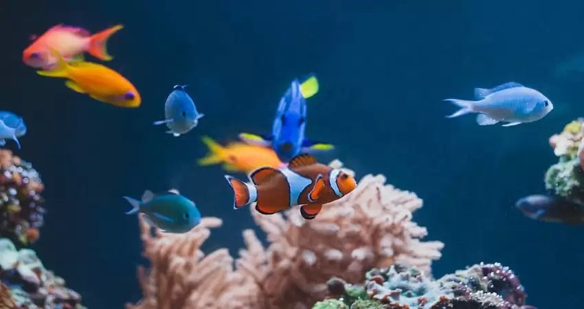 Clowning Behaviour of Clownfish