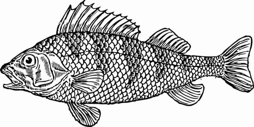 Evolution of Fish Scale