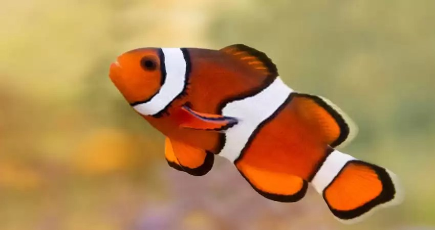 Freshwater effect on Clown Fish