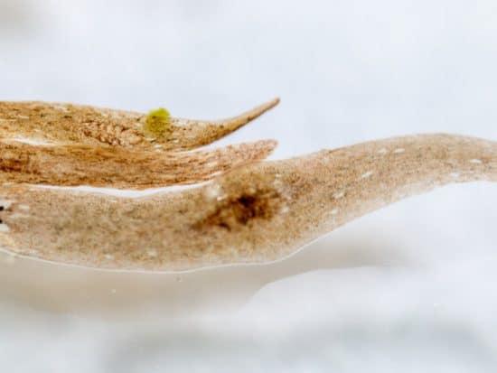 What Aquarium Fish Eat Planaria