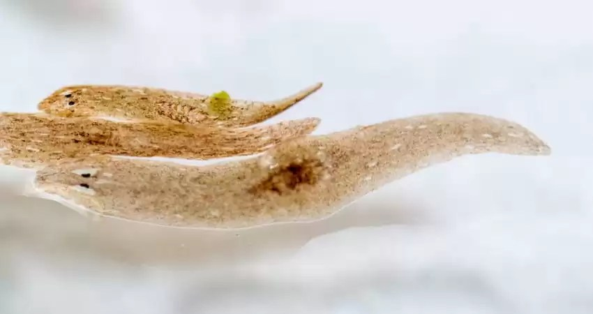 What Aquarium Fish Eat Planaria