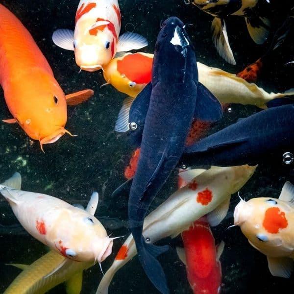 popular Freshwater Fishtank Fish