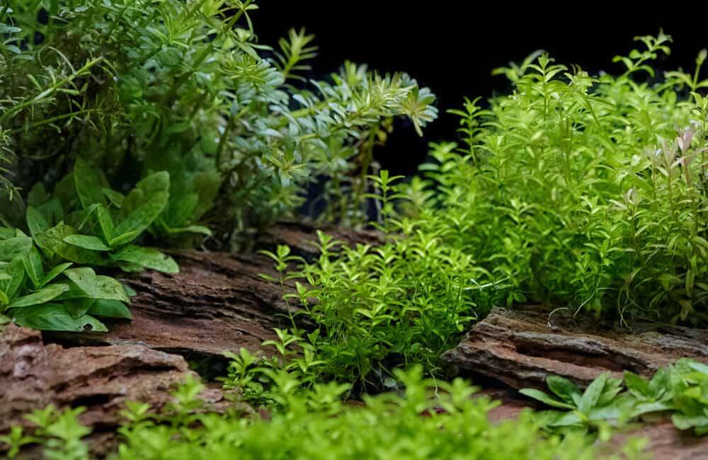 Aquarium Plants in the Wild