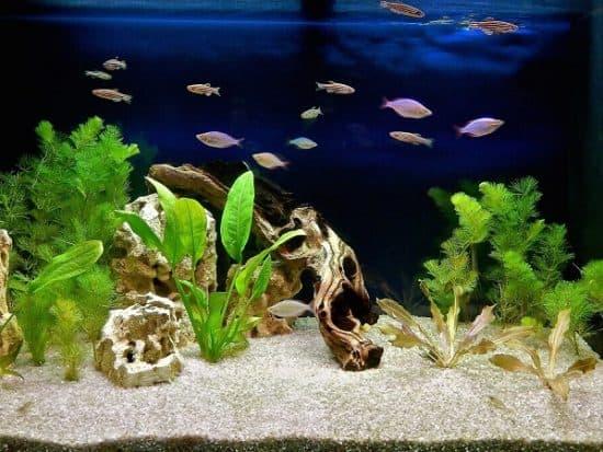 Cabomba Aquarium Plant