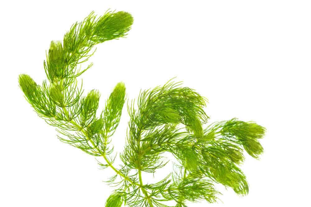 Hornwort How to Grow This in Your Aquarium