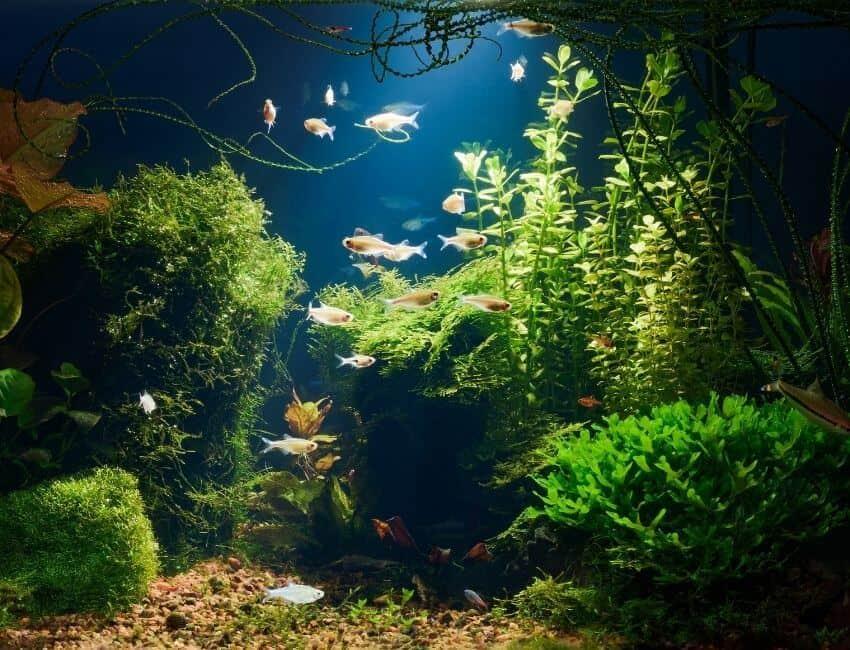 How To Care Floating Plant in Aquarium
