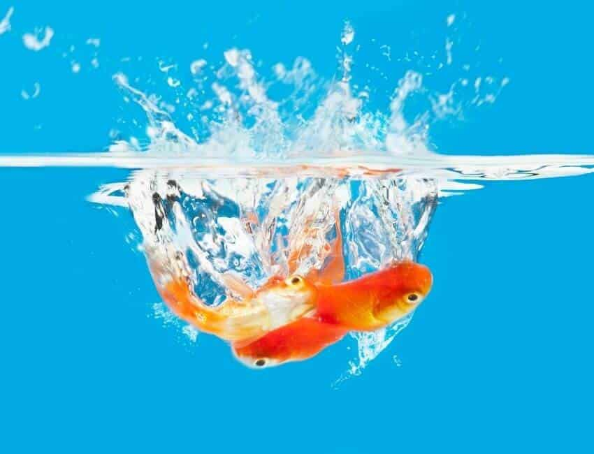 How To Care Goldfish For Long Lifespan