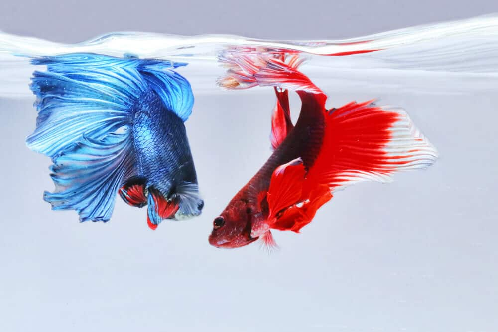 How To Maintain Water Temperature of Betta Fish