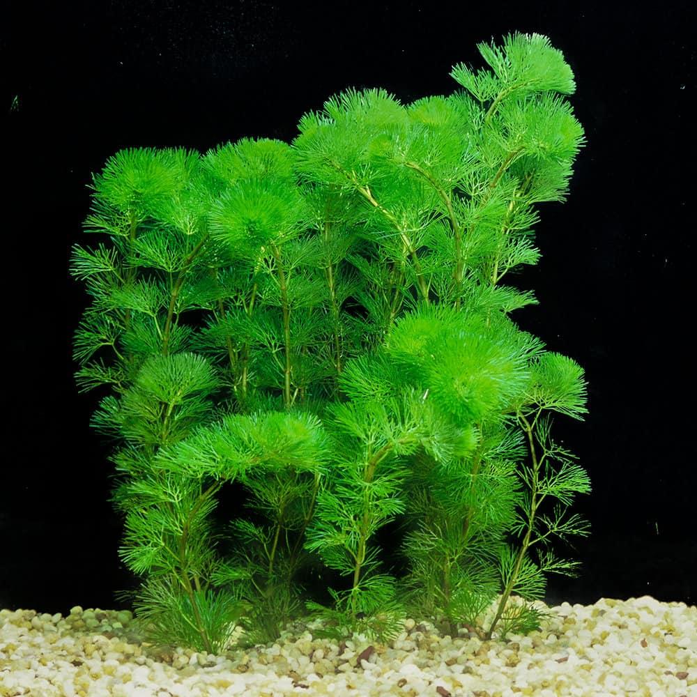Plant Propagation of Cabomba