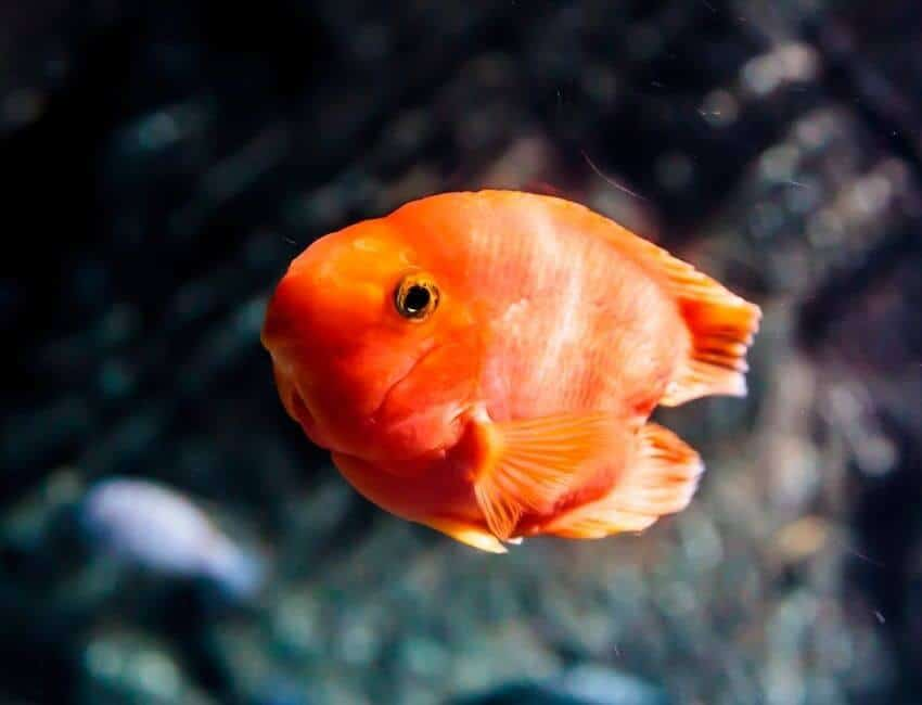 The Symptoms That Your Goldfish is not in Good Condition