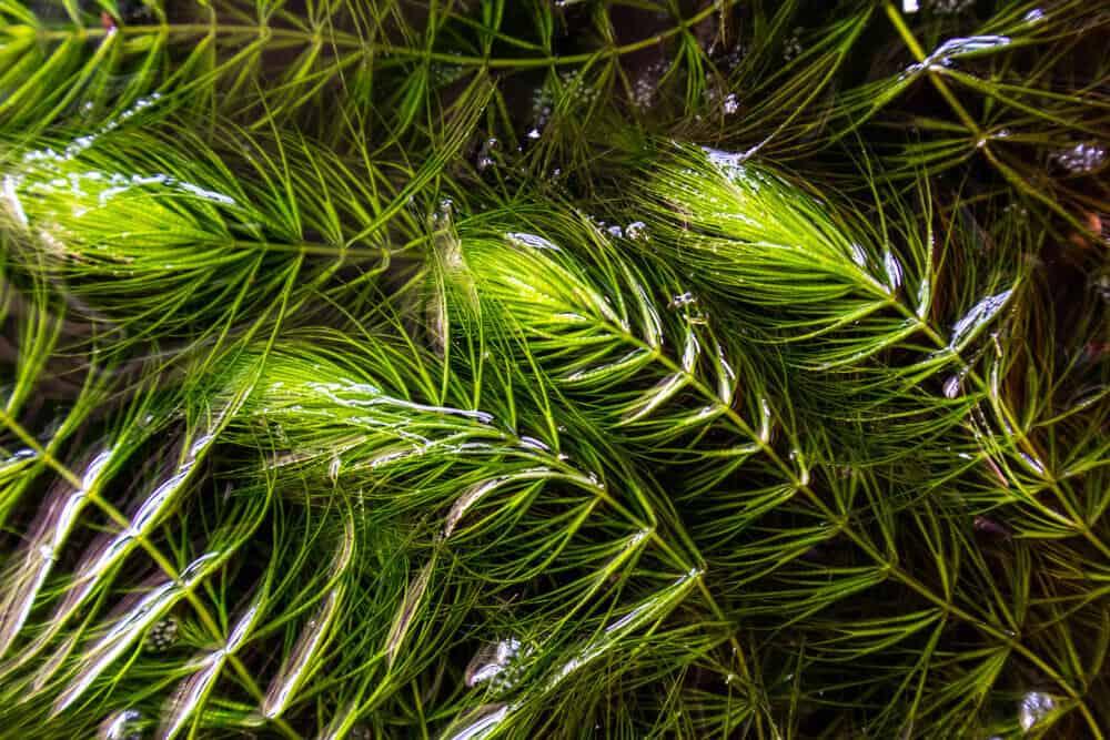 hornwort aquarium plant