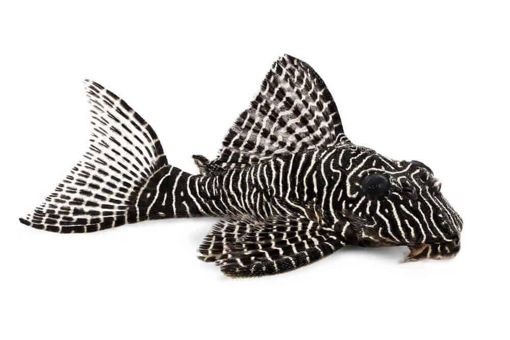 Requirement of Pleco Fish