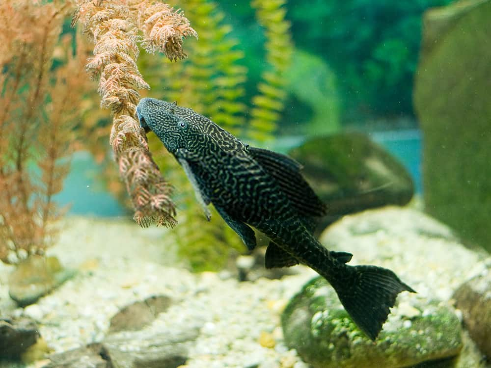 Setting The Aquarium Up For Pleco Fish