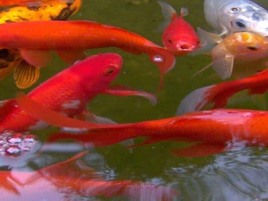 Signs of Old Age in Aquarium Fish