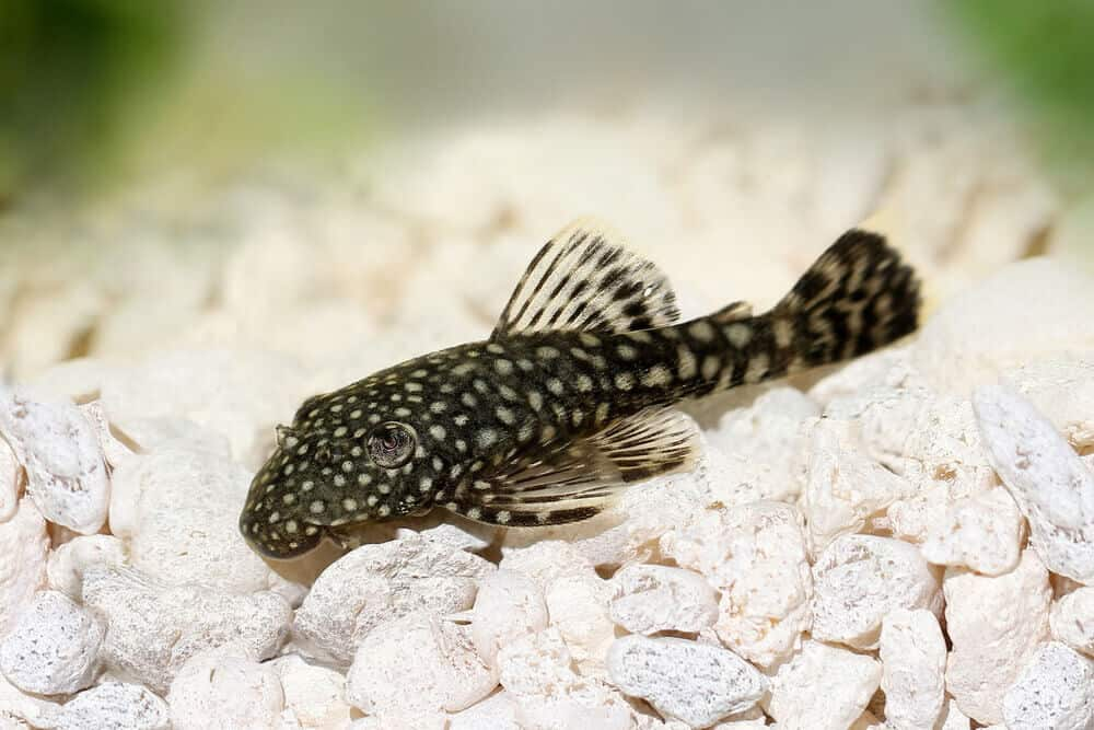 Small Pleco Fish Breeds
