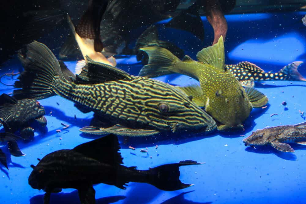 Some Advantages and Disadvantages of Pleco fish