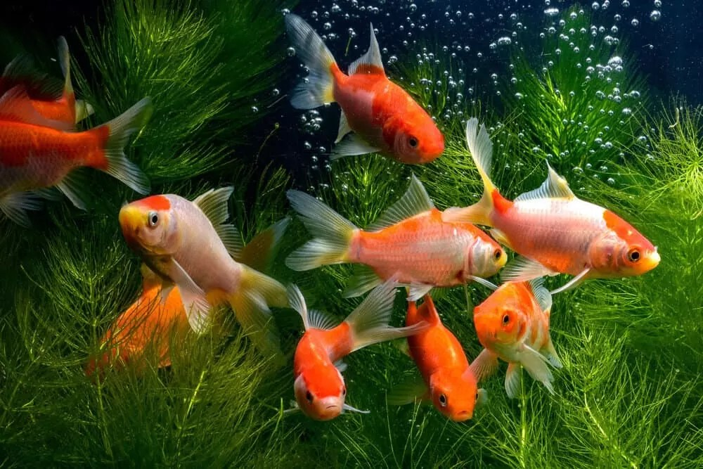 aquarium fish are stressed